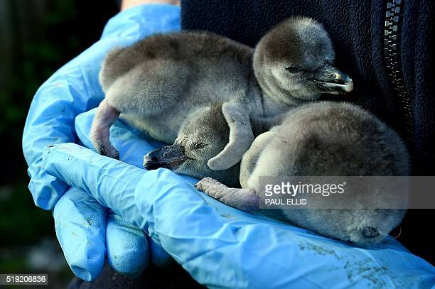 Onedayold baby Humboldt penguin 'Quaver' is held with its newlyborn sibling 'Cheeto' at the penguin enclosure at Chester Zoo in Chester north west...