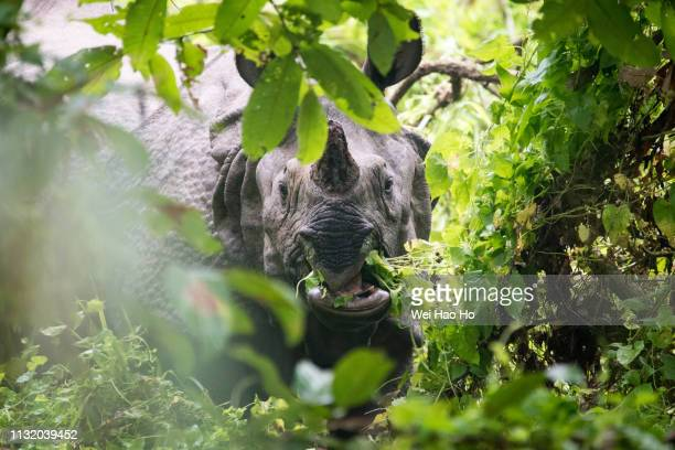 one-horned rhinoceros feeding - chitwan stock pictures, royalty-free photos & images