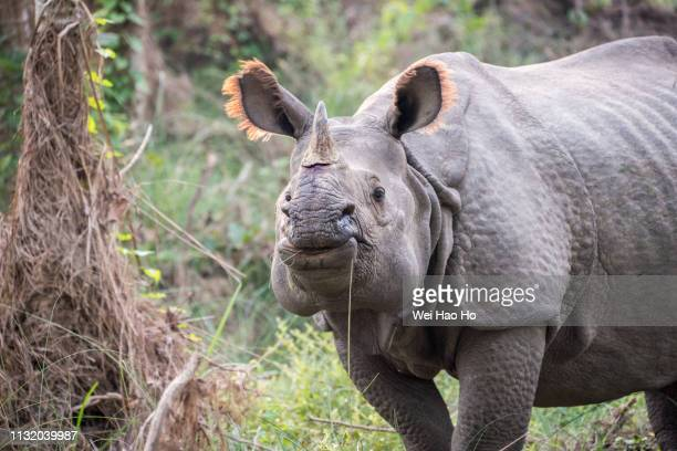one-horned rhinoceros - chitwan stock pictures, royalty-free photos & images