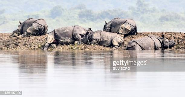 One-horned rhinoceros take shelter on a higher-land in the flood affected area of Kaziranga National Park in the northeastern Indian state of Assam...