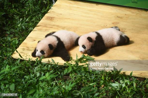 One-hundred-day-old twin giant panda cubs make their debut at Chongqing Zoo on September 17, 2021 in Chongqing, China.