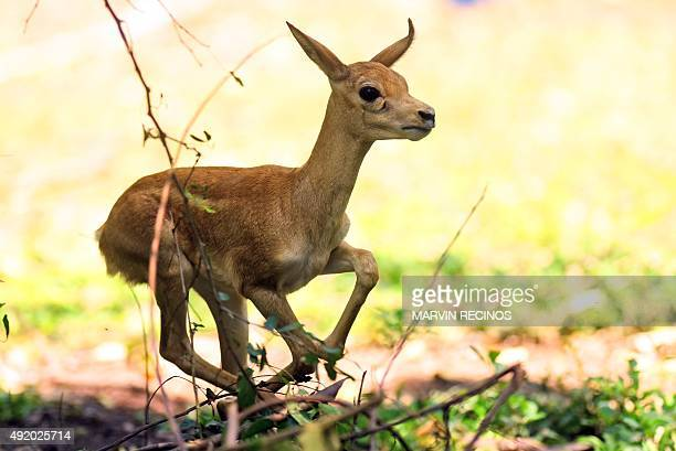 A onemonth blackbuck fawn an ungulate species of antelope is seen at the National Zoo of El Salvador in San Salvador on Octubre 09 2015 AFP PHOTO /...