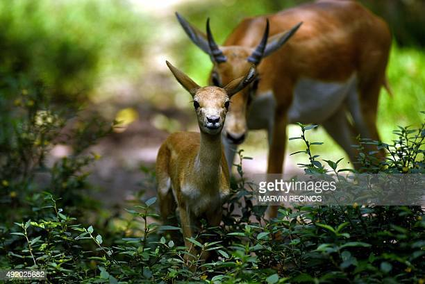 A onemonth blackbuck fawn and its mother are ungulate species of antelope is seen at the National Zoo of El Salvador in San Salvador on Octubre 9...