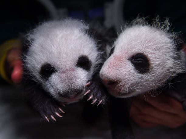 One-month-old cubs given birth by giant panda 'Zhen Zhen' are seen at Shenshuping giant panda base on August 17, 2021 in Aba Tibetan and Qiang...