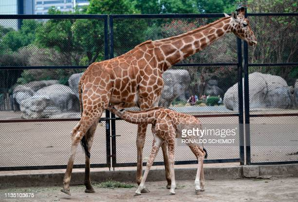 A onemonthold giraffe is seen with her mother at the Chapultepec zoo in Mexico City on April 5 2019