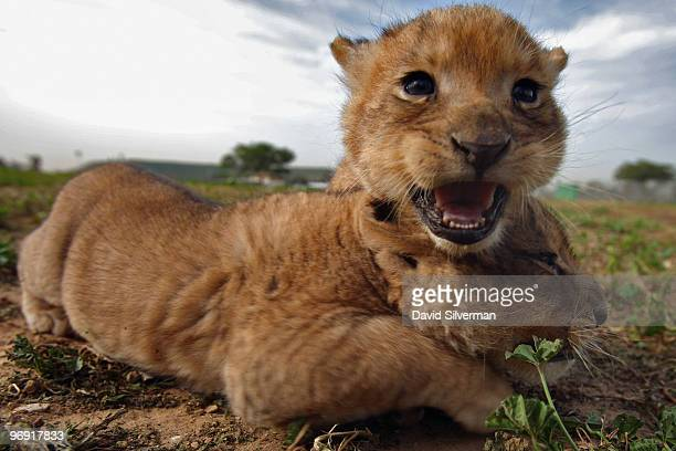 Onemonthold lioness cubs explore their surroundings as they take their first outing on February 21 2010 at the Ramat Gan Safari Park near Tel Aviv...