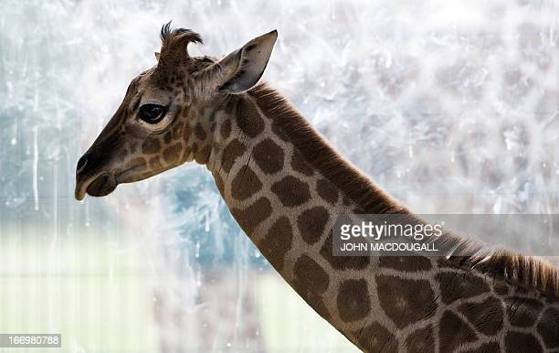 Onemonthold Ugandan giraffe calf 'Eric' stands in his enclosure at Berlin's Tierpark zoo April 19 2013 Rothschild's giraffe is one of the most...