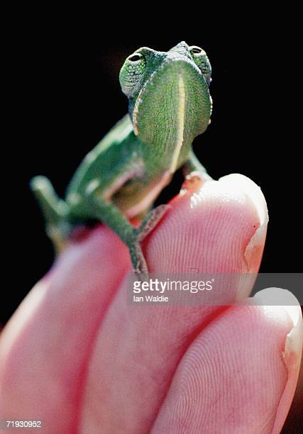 A onemonthold Veiled Chameleon crawls on the hand of a Taronga Zoo staff member September 19 2006 in Sydney Australia Taronga Zoo's Chameleon...