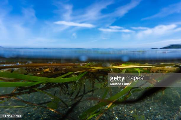 one-under view of sea grasses floating in water - green algae ストックフォトと画像