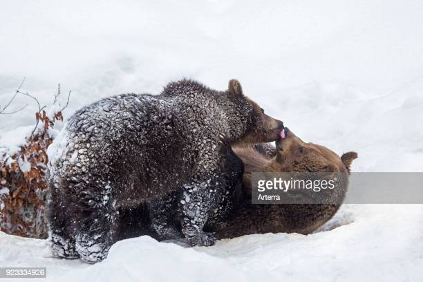 Oneyear old cub greeting female brown bear in the snow in winter