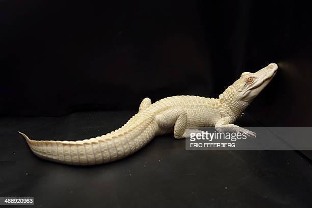 A oneyearold albino alligator is pictured at Paris' aquarium on February 12 2014 This animal is the result of a captive breeding program aiming at...