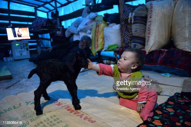 One-year-old Bayram Gobut, one of Sarikecili Yoruks, nomadic Turks of Anatolia, plays with a goat at a tent as preparations are made for migration to...