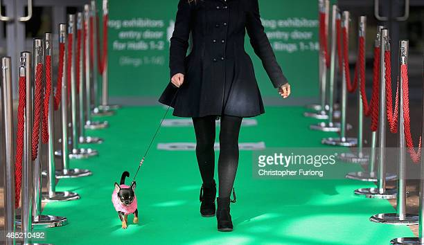 Oneyearold Chihuahua Ebony arrives at Crufts along the green carpet during a photocall to launch Crufts 2015 on March 4 2015 in Birmingham England...