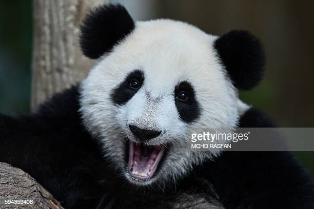 Oneyearold female giant panda cub Nuan Nuan reacts inside her enclosure during joint birthday celebrations for the two pandas at the National Zoo in...