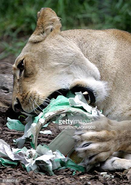 Oneyearold lioness cub Asali mauls her Christmas treat at Taronga Zoo in Sydney 23 December 2004 The Christmas gifts form part of Taronga's ongoing...
