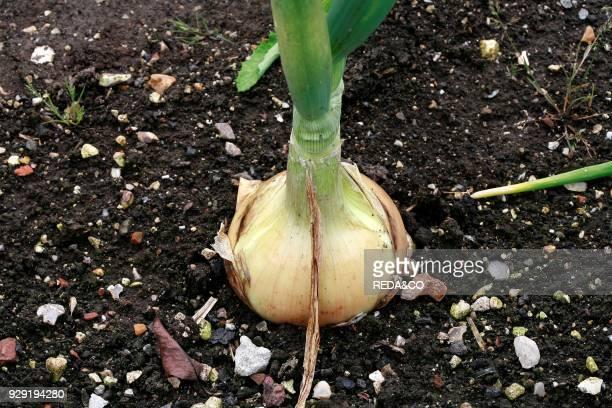 Onion 'Ailsa Craig' onion