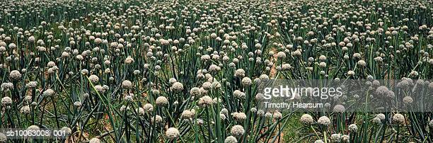 onion field (full frame) - timothy hearsum ストックフォトと画像