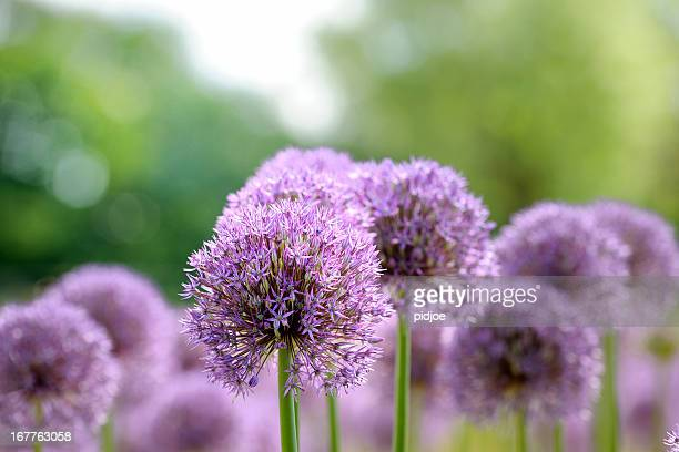 onion flower heads - allium flower stock pictures, royalty-free photos & images