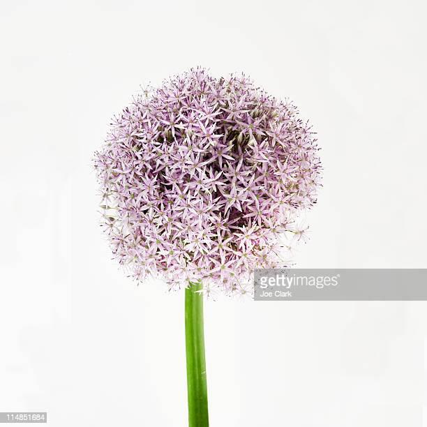 Onion flower in bloom