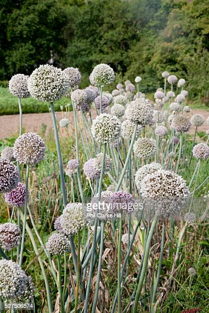 onion flowers organic community farming project Devon UK