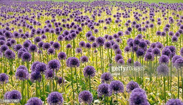 オニオンの花