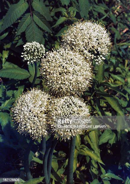 Onion inflorescences Liliaceae