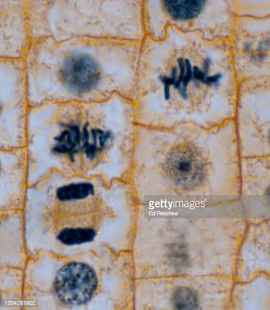 mitosis---metaphase, early anaphase, telophase---plant mitosis, onion (allium) root tip, 100x - cytokinesis stock pictures, royalty-free photos & images