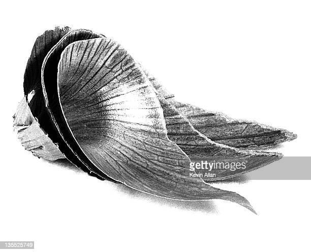 onion skin - black and white vegetables imagens e fotografias de stock