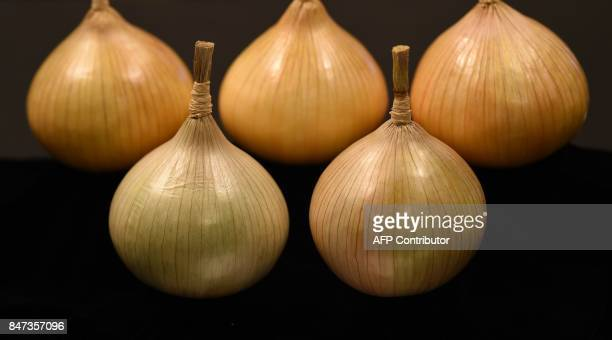 Onions are displayed in a vegetable competition on the first day of the Harrogate Autumn Flower Show held at the Great Yorkshire Showground in...