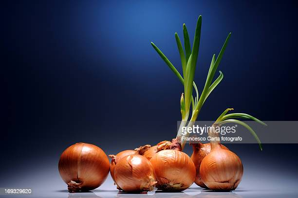 onions seedling - tempio pausania stock-fotos und bilder