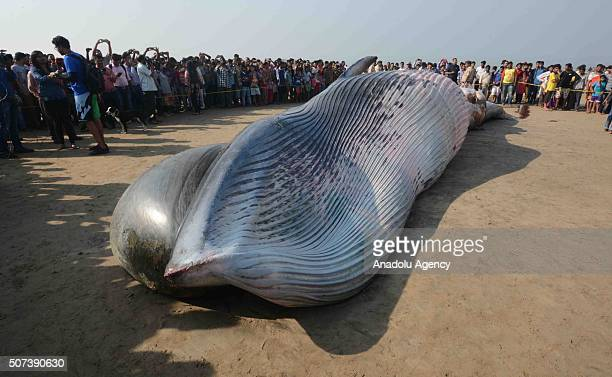 Onlookers gather around a dead Bryde's Whale reportedly 35 ft long beached on the famous Juhu beach in Mumbai on January 29 2016