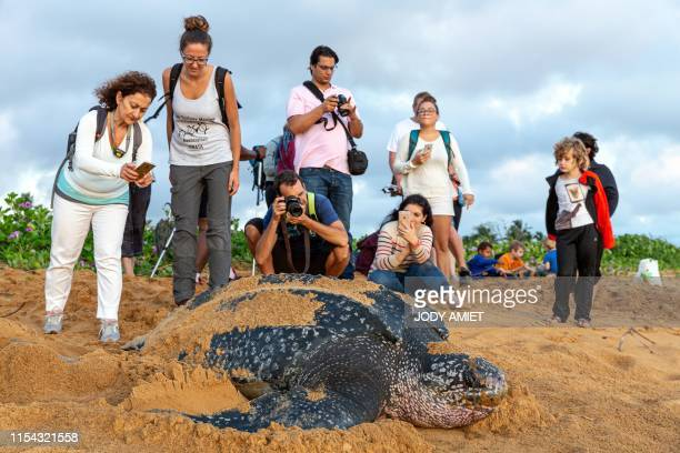 Onlookers take pictures as they observe a leatherback sea turtle also known as the Luth turtle laying eggs under the supervision of Kwata association...