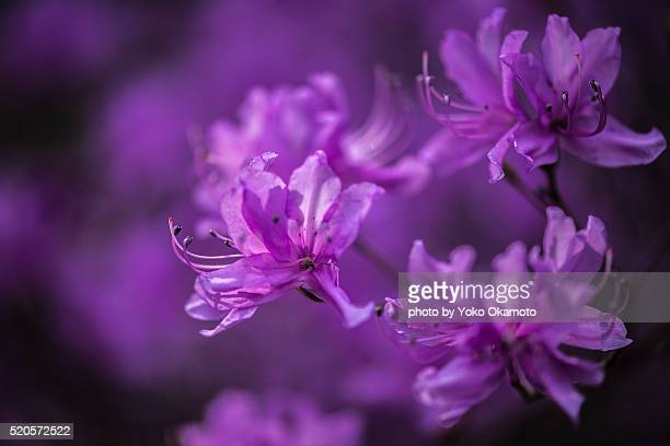 only blossoms before the leaves come out blooming azalea, named mitubatutuji - only men stockfoto's en -beelden