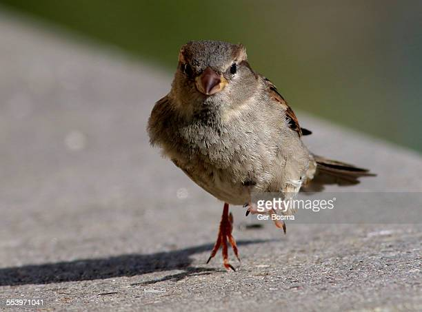 Onstorming House Sparrow