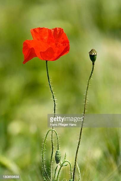 Open and closed Poppy blossom (Papaveraceae)