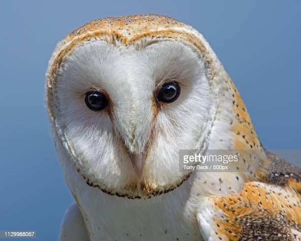 open door - barn owl stock photos and pictures