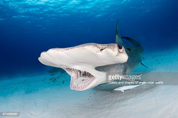 open mouth - bimini stock photos and pictures