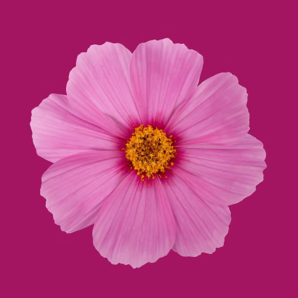 Open pink cosmos flower on a dark pink background photos photo id 161055561 mightylinksfo