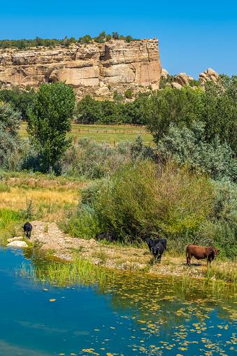 Open range cattle on the roads of Southern Utah where cattle roam freely regardless of land ownership 1190235292