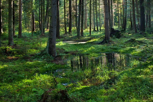 Open standing water inside coniferous stand 531239020
