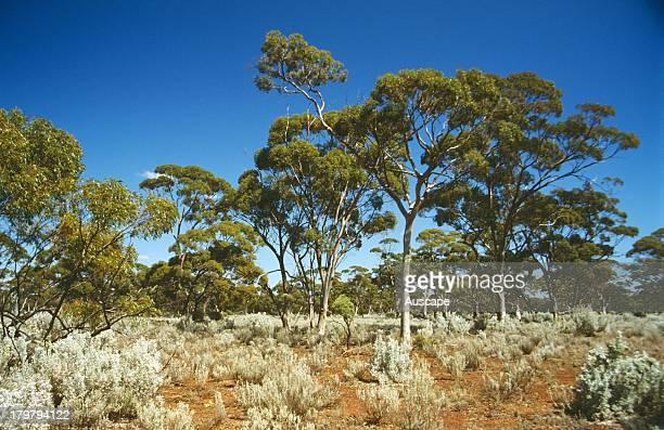 Open woodland of Salmon gum Eucalyptus salmonophloia Bungalbin Hill Western Australia