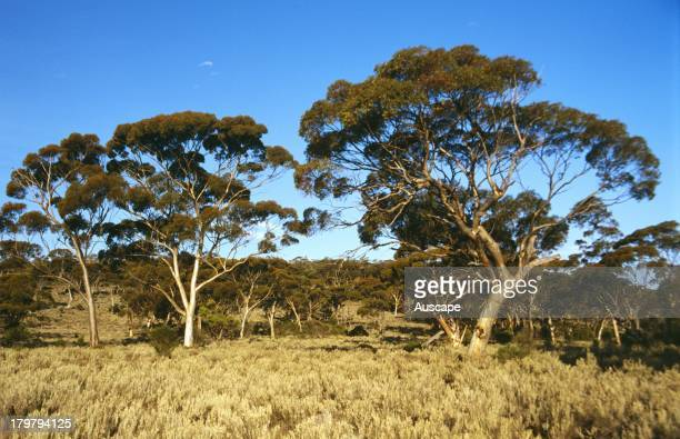 Open woodland of Salmon gum Eucalyptus salmonophloia Lake Johnston Western Australia