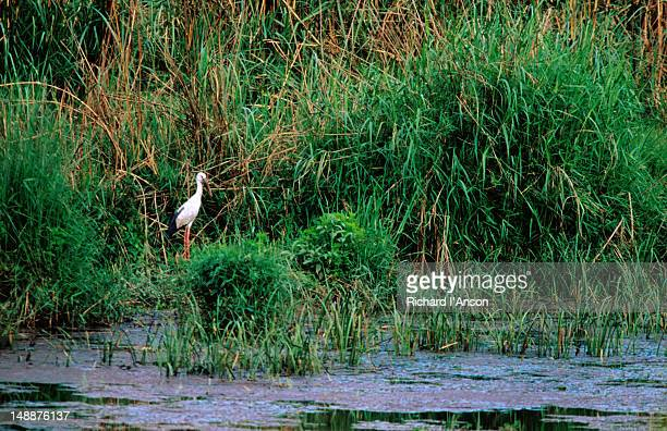 open-billed stork on banks of lami tal. - lumbini nepal stock pictures, royalty-free photos & images