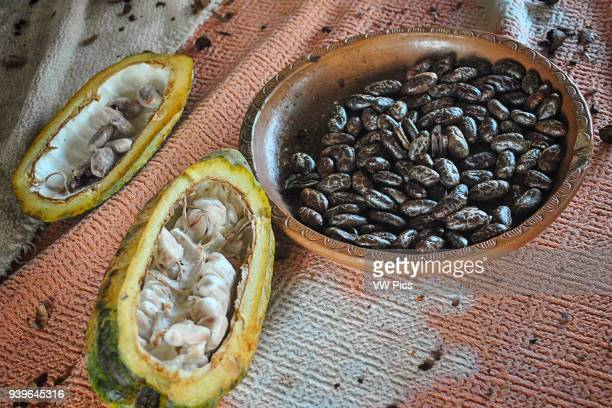 Opened cacao fruit and peeled toasted ccocoa beans Guayas Ecuador