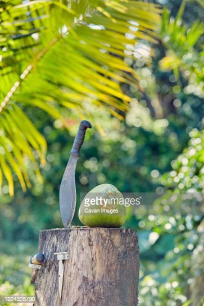 opening a coconut on a farm in hawaii - category:census-designated_places_in_honolulu_county,_hawaii stock pictures, royalty-free photos & images