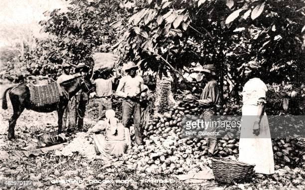 Opening cocoa pods Trinidad Trinidad and Tobago c1900s Published by Davidson Todd Ltd