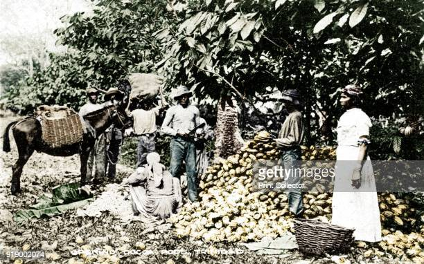 Opening cocoa pods Trinidad Trinidad and Tobago c1900s Published by Davidson Todd Ltd Artist Strong