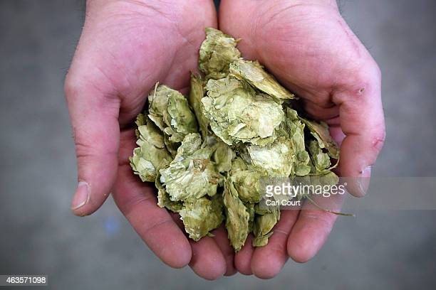 UBREW operational manager Nick Fletcher holds hops as he demonstrates the brewing process at the company's open brewery on February 16 2015 in London...