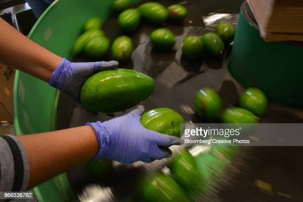 Operations During An Avocado Harvest
