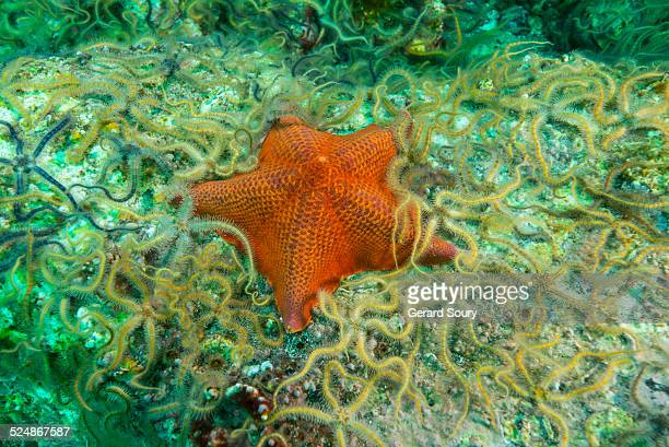 BAT STARFISH AMONG Ophiurida